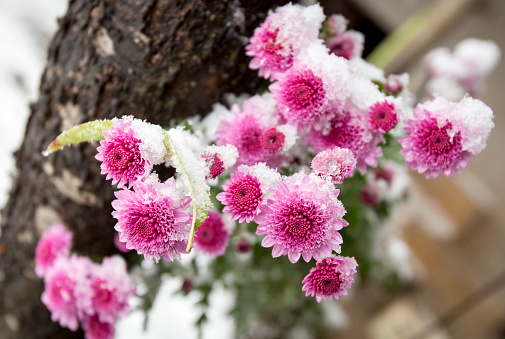 Prepare for a Winter Freeze Flowers