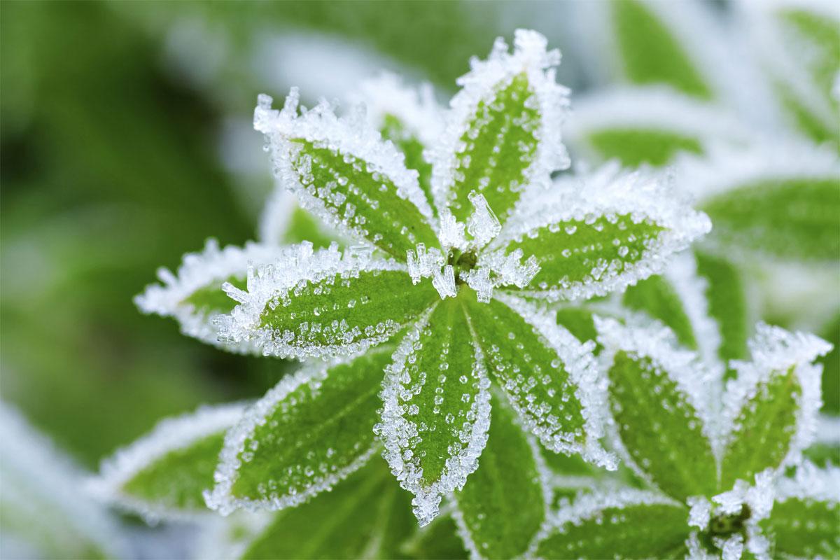 Revive Frozen Plants