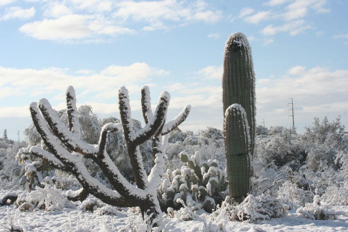 Phoenix Winters Cactus